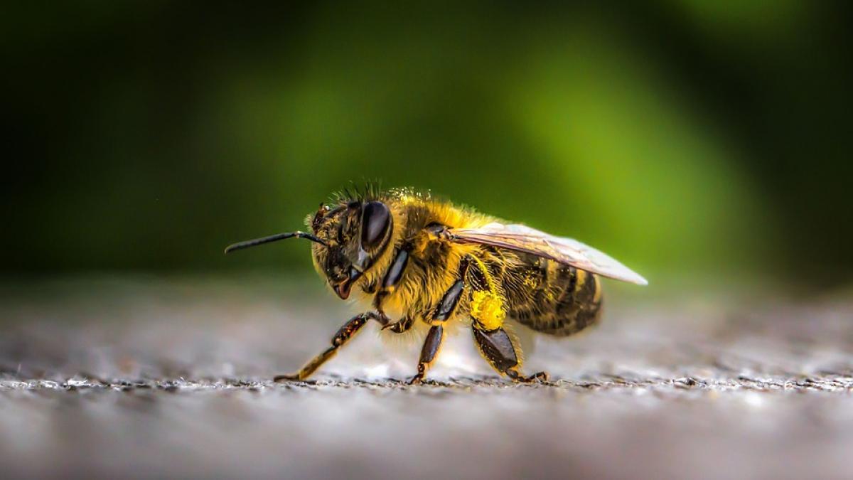 Slika: Prireditev ob Svetovnem dnevu čebel - 17.05.2018 v Št Petru